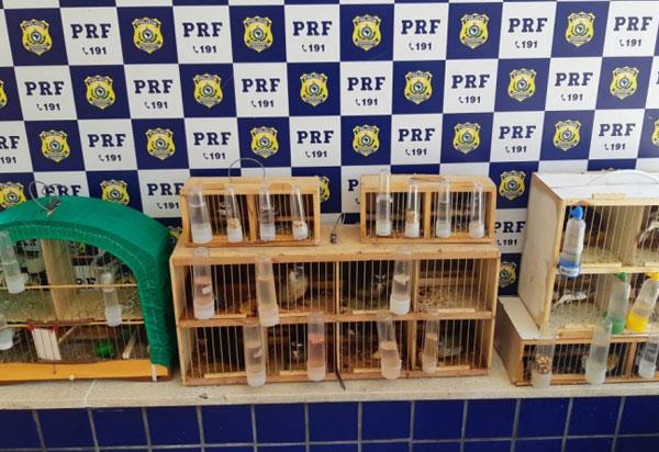 Conquista: Em ocorrências distintas, PRF resgata pássaros sendo transportados irregularmente dentro de ônibus
