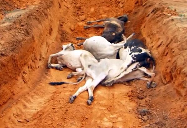 Tanhaçu: número de bois e vacas mortos em fazenda sobe para 125