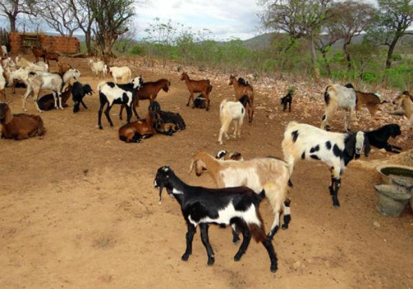 Ação visa aumento da produção de ovinos e caprinos para agricultor familiar na Bahia