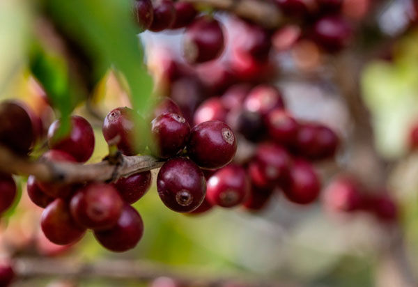 Piatã: Cafeicultores de Cooperativa são classificados ao Oscar dos cafés especiais