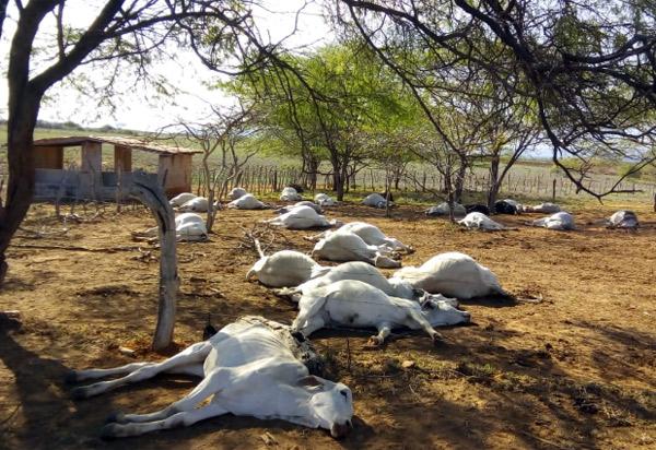 Tanhaçu: mais de 70 gados aparecem mortos em fazenda; Adab investiga o caso