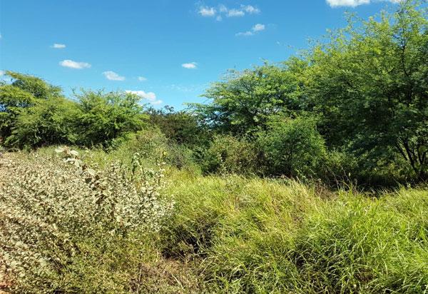 Grande quantidade de mato atrai Iguana para Bairro Feliciano Pereira