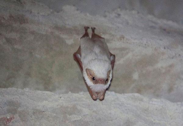 Ibicoara: Morcego albino raro é descoberto no Parque Natural Municipal do Espalhado