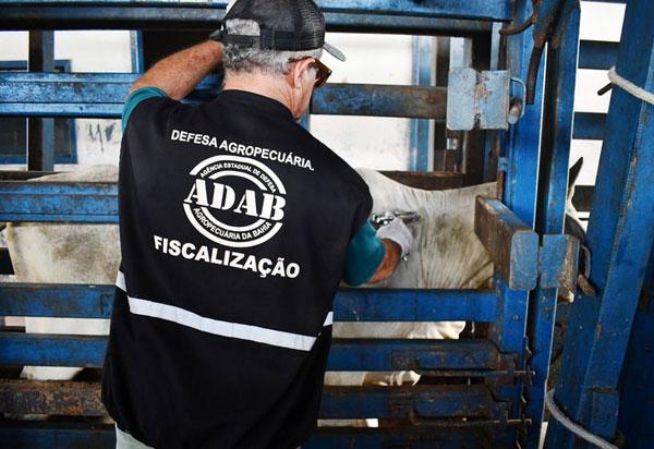 Segunda etapa de vacinação contra Aftosa na Bahia ultrapassou metas